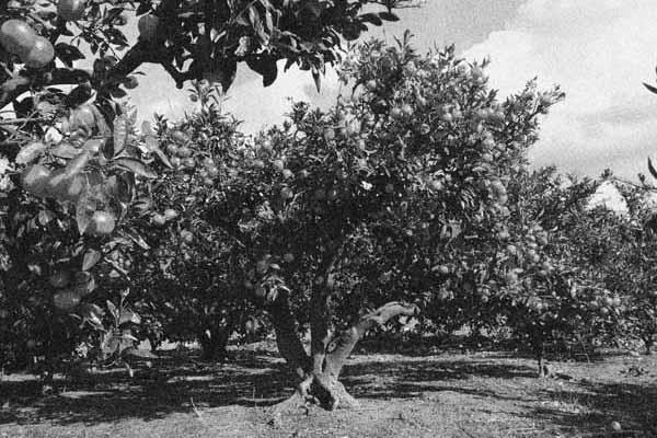 古いみかん畑の写真