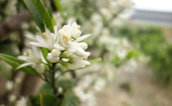 蜜柑の花が咲いたら     花もぐり